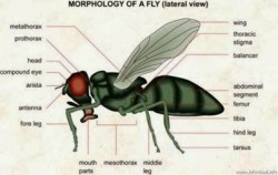 Lalat Makhluk Kecil Yang Penuh Keajaiban