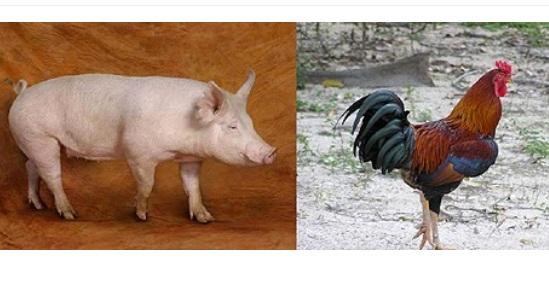 Membandingkan Perilaku Ayam & Babi, Sebuah Jawaban Telak Kenapa Babi Diharamkan
